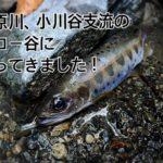 【2020年 奥多摩】日原川 小川谷支流、カロー谷へ、渓流ルアー釣りに行ってきました。